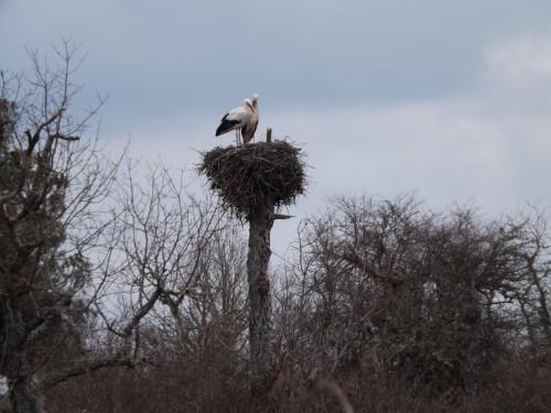 las cigueñas vuleven como cada alio a los nidos que quedaron durante el otoño vacios despues de su migracion. Ahora en esta epoca vulevn a paraearse y a recostruir los nidos formados por barro, ramas y que pueden llegar a pesar un par de cientos de kilos