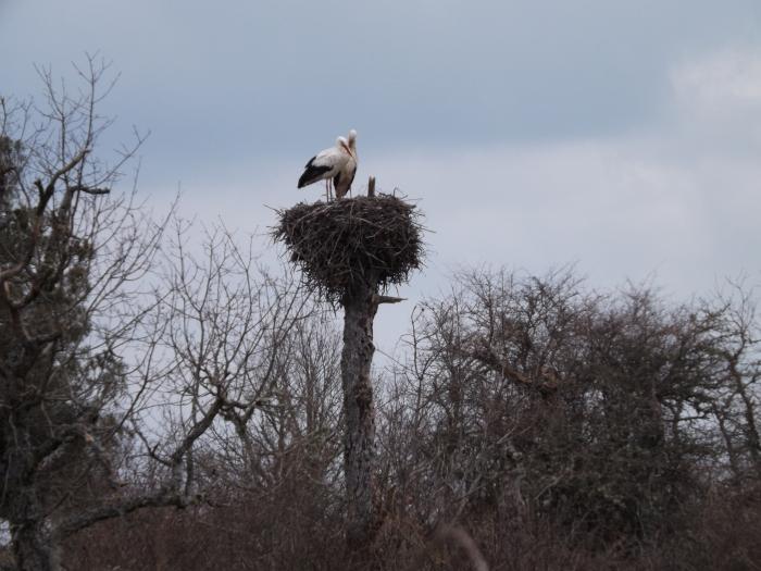 A primeros de Febrero, las cigueñas vuleven como cada año a los nidos que quedaron durante el otoño vacios despues de su migracion. Ahora en esta epoca vulevn a paraearse y a recostruir los nidos formados por barro, ramas y que pueden llegar a pesar un par de cientos de kilos
