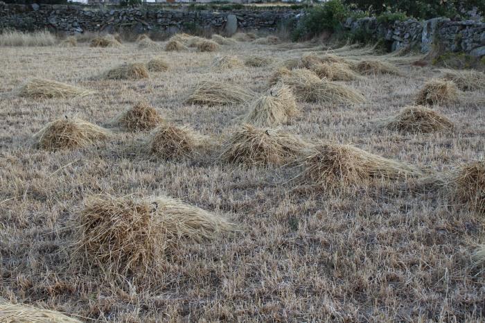 Cereal recién segado en los campos de Sayago