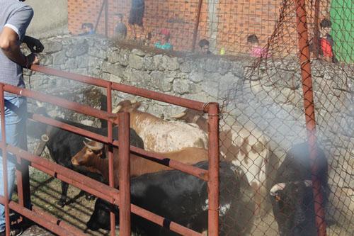 Toros desenjaulados y agrupados para iniciar el encierro desde los Corrales de San Albín