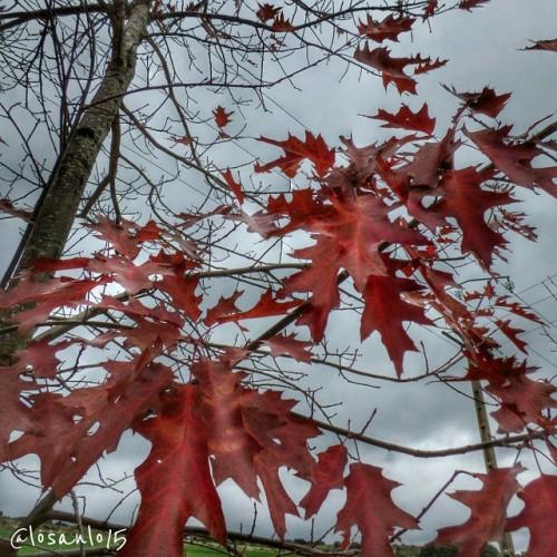 pereruela: roble en otoño