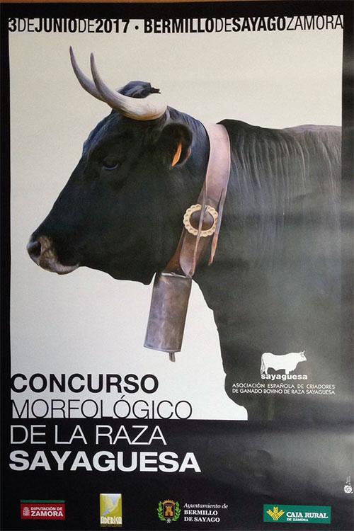 bermillo_concurso_morfologico_vaca_sayaguesa