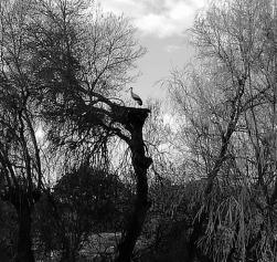 Cigüeña en la rivera del Mimbre de Badilla