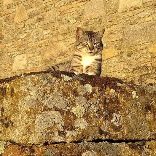 gato pardo sobre piedra en bermillo de sayago, zamora, españa