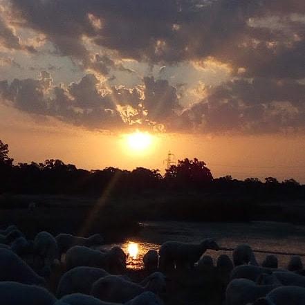 rebaño de ovejas bebiendo agua de Luelmo de Sayago / Foto de Sara Carrascal