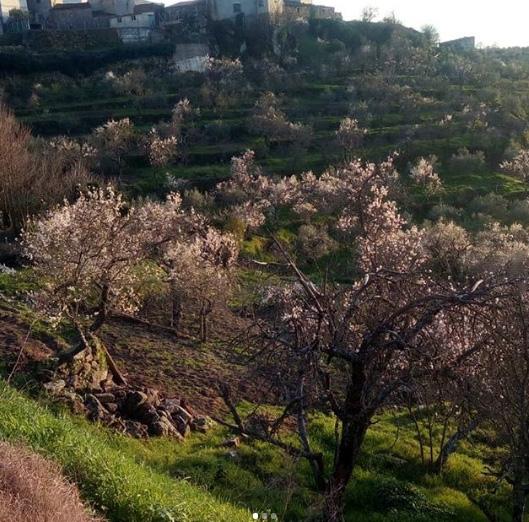 Almendros en Flor en Fermoselle (Zamora)