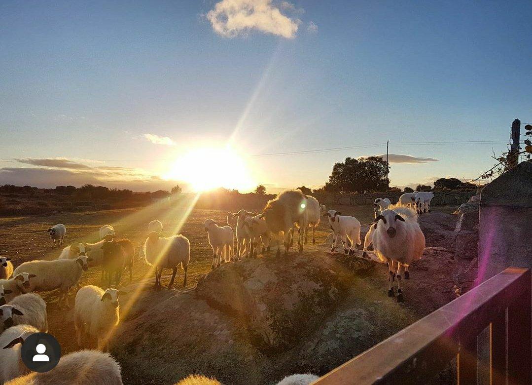 ovejas en la rivera de carbellino de sayago
