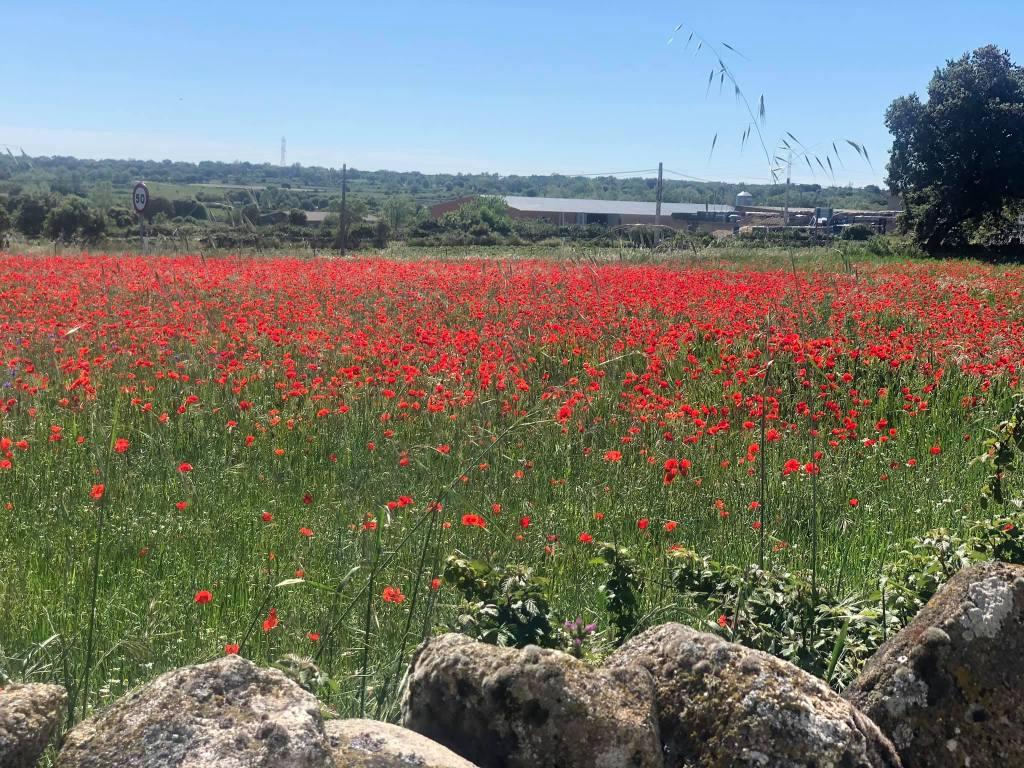 campo de amapolas en primavera, luelmo de sayago, zamora, spain