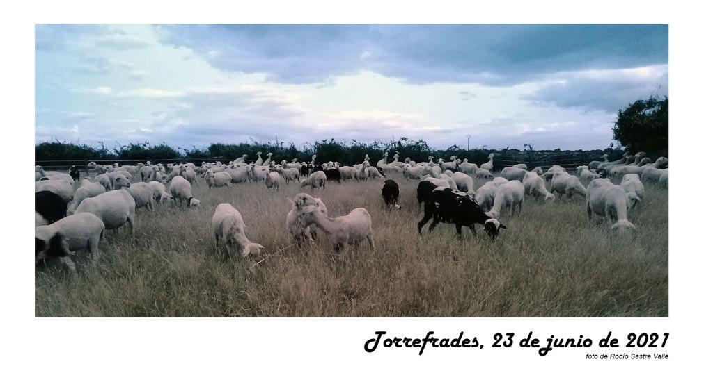 Ovejas de la ganadería de Miguel Manzano de Torrefrades, comarca de Sayago, Zamora. Las ovejas están recién esquiladas. Con la llegada del verano se le retira la lana para uso industrial y para que el ganado esté más fresquito. A Sayago suelen venir esquiladores de la zona de Badajoz